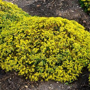 "Sedum Yellow Brick Road - 8"" Jumbo Pot (Perennial) - NEW ARRIVAL"