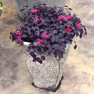 Loropetalum Jazz Hands Mini - QT Pot (Shrub)