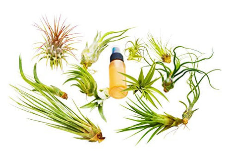 13pcs Air Plant Variety Pack with Fertilizer Spray