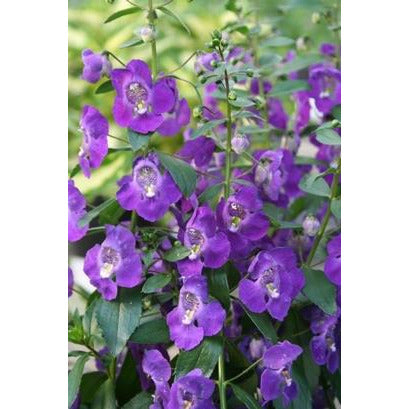 "Angelonia Angelface Blue - 4 1/2"" Pot (Annual)"