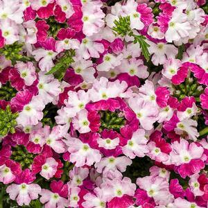 "Verbena Superbena Sparkling Ruby - 4 1/2"" Pot (Annual)"