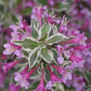 "Weigela My Monet Purple Effect - 8"" Jumbo Pot (Shrub) - NEW ARRIVAL"