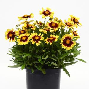 Coreopsis Uptick Yellow and Red - QT Pot (Perennial)