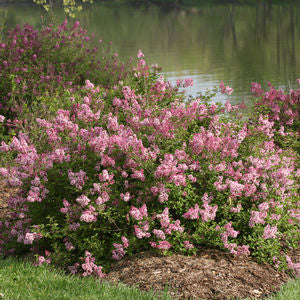 Syringa Scent And Sensibility - QT Pot (Shrub)