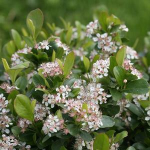 Aronia Low Scape Mound - QT Pot (Shrub)