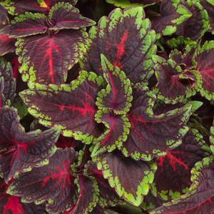 "Solenostemon Colorblaze Torchlight - 4 1/2"" Pot (Annual) - NEW ARRIVAL"