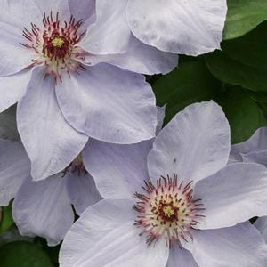 Clematis Still Waters PWCC - QT Pot (Perennial)