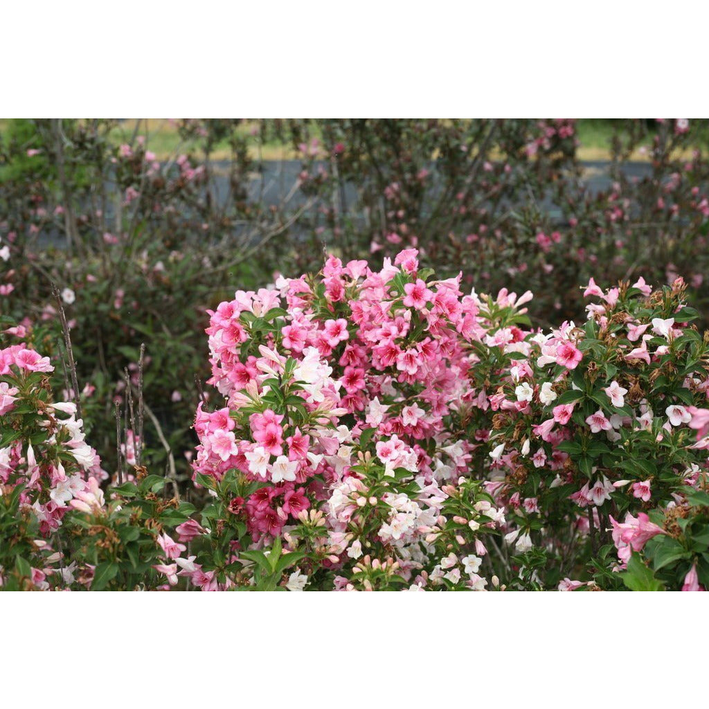 Weigela Czechmark Trilogy - QT Pot (Shrub)