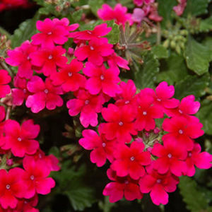 "Verbena Tukana Raspberry - 4 1/2"" Pot (Annual)"