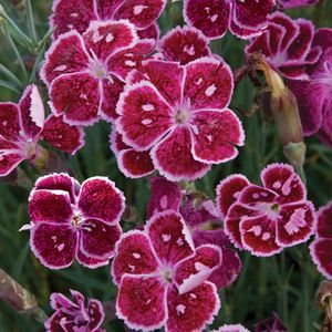 "Dianthus Fire and Ice - 5"" Pot (Perennial)"
