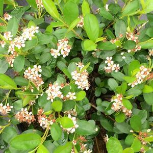 Aronia Ground Hog - Quart Pot (Shrub) - NEW ARRIVAL