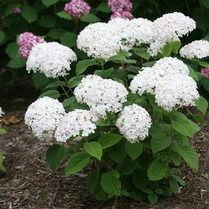 "Hydrangea Invincibelle Wee White - 8"" Jumbo Pot (Shrub)"
