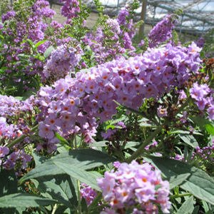 "Buddleia Lo and Behold Lilac Chip - 8"" Jumbo Pot (Shrub)"