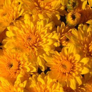 Garden Mum Sundance Yellow - QT Pot (Annual)