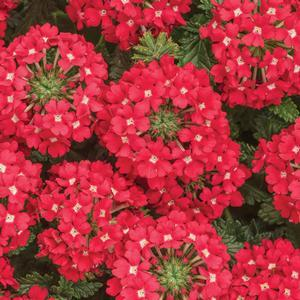 "Verbena Superbena Scarlet Star - 4 1/2"" Pot (Annual) - NEW ARRIVAL"