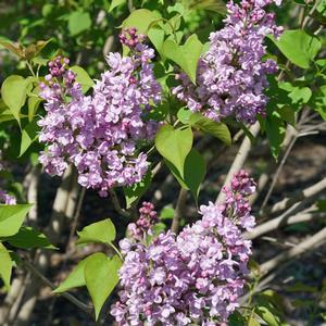 Syringa Scentara Double Blue - QT Pot (Shrub)