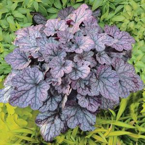 "Heuchera Grape Expectations - 5"" Pot (Perennial)"