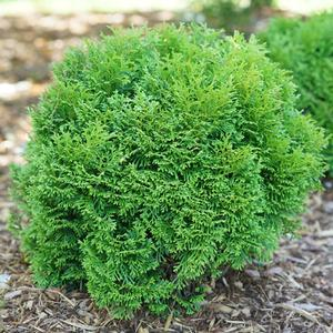 Thuja Tiny Tot - QT Pot (Shrub)