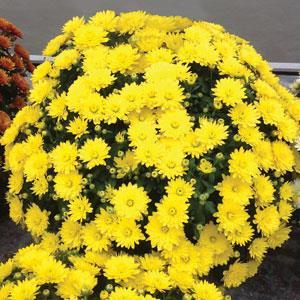 Garden Mum Paradiso Yellow - QT Pot (Annual)