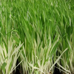 "Tabby Cat Grass - 4 1/2"" Pot (Edibles) - NEW ARRIVAL"
