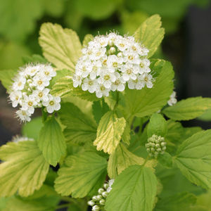 "Spirea Glow Girl - 8"" Jumbo Pot (Shrub)"