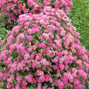 Spiraea Double Play Pink - QT Pot (Shrub)