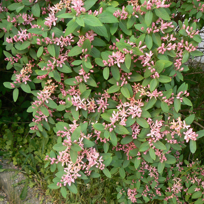 Pink Tatarian Honeysuckle Shrub
