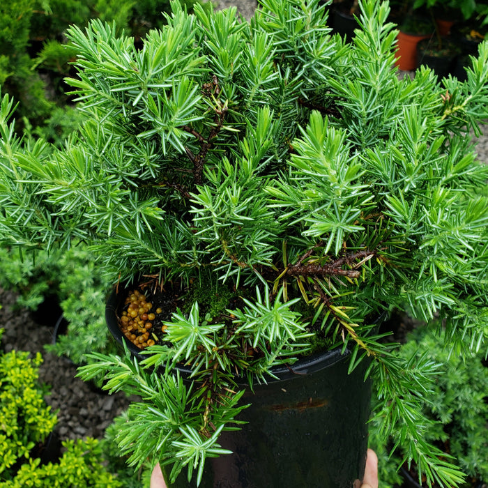 Blue Pacific Shore Juniper (1 Gallon)