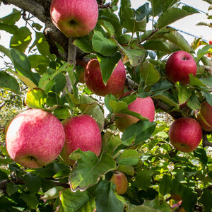 Pink Lady Apple Tree