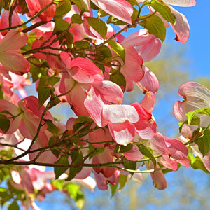 Pink Flowering Dogwood Tree