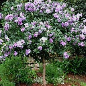 Ardens Althea Shrub