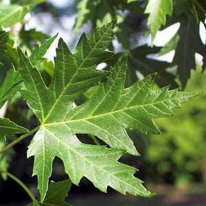 Silver Maple (WS)