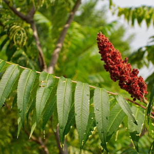 Staghorn Sumac Shrub