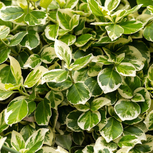 Variegated Weigela Shrub
