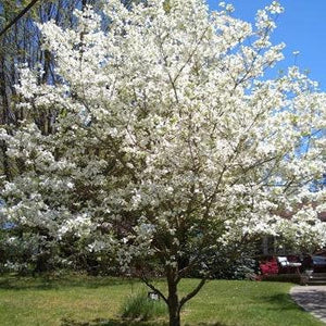 White Dogwood Tree (1 Gallon)