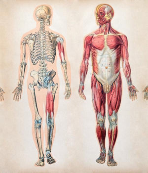 Human skeleton and musculoskeletal system