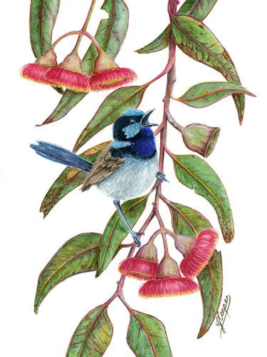 Blue Superb Fairywren in Silver Princess - A3 Print in Frame