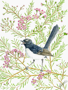 Willy Wagtail in Geraldton Wax - Greeting Card