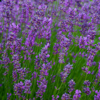 Essential Oil of Lavendar