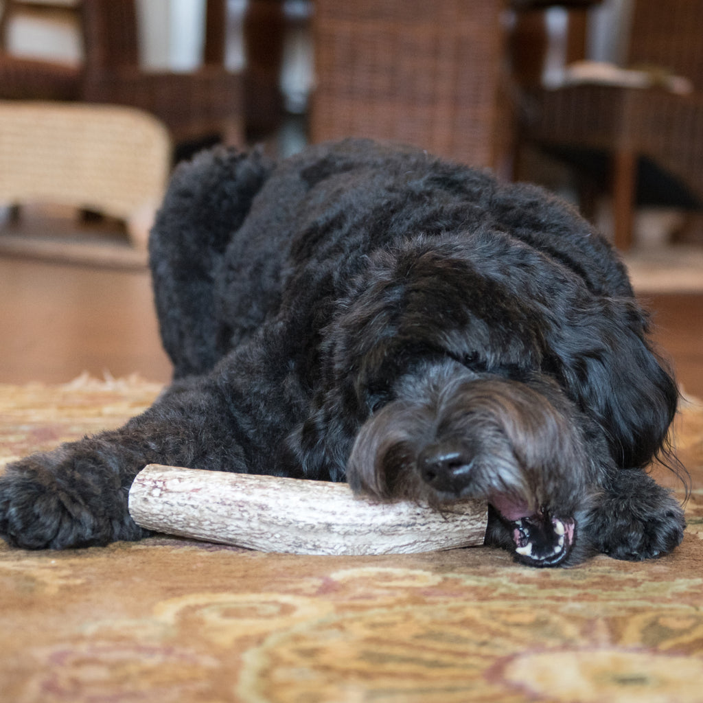 Medium Whole Elk Antler Dog Chew - Devil Dog Pet Co