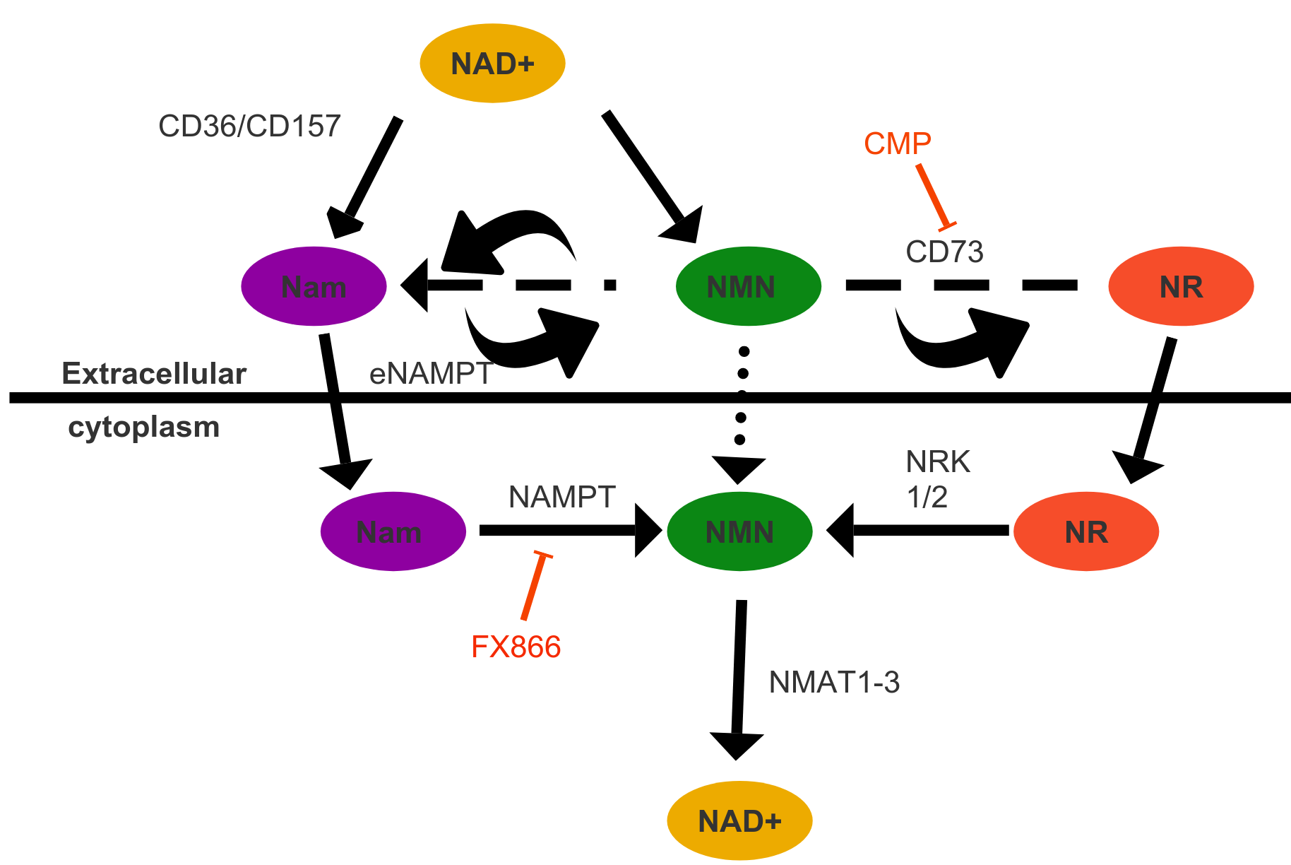 NAD+ Biosynthesis essential for vision – reversing-age com