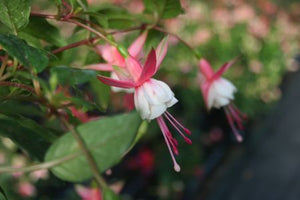 Fuchsia Patio princess