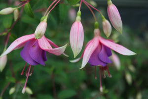 Fuchsia Border Queen