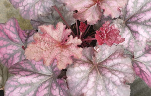 Heuchera Mulberry