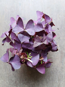 Oxalis Triangulais