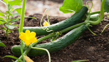 The Anti-inflammatory Power of Cucumber