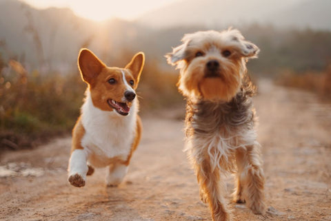 two dogs of two different breeds running together