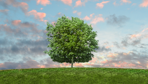 Tree with green leaves a green meadow. The sky is blue and pink