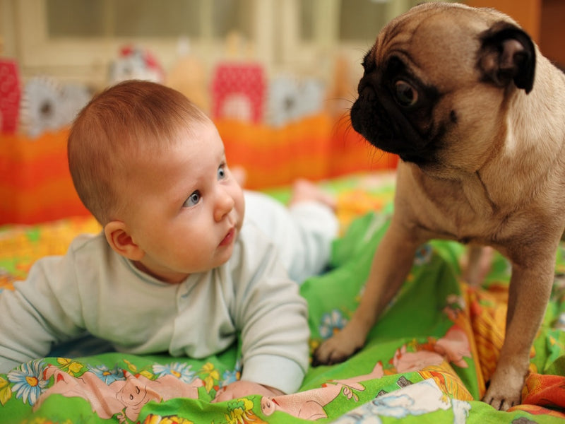 Helping Your Dog Meet Your Baby - Preparation Is Key