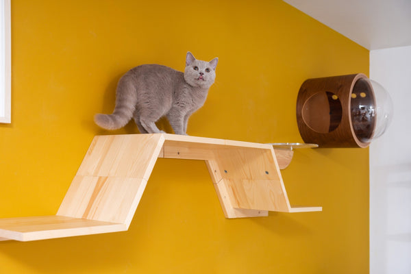 A blue British Shorthair is looking down from the top of Zone.